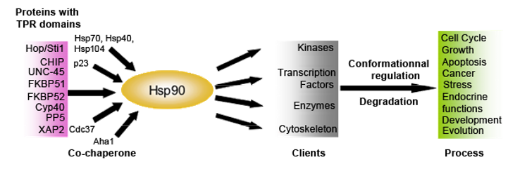 Hsp90 protein partners and clients destabilized by Hsp90 inhibition.