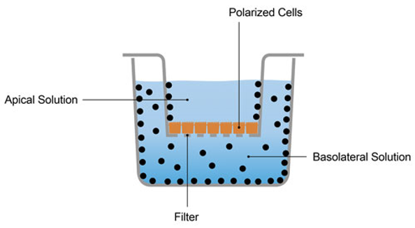 The schematic diagram of MDCK permeability assay.